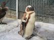 Pinguin-Rettung