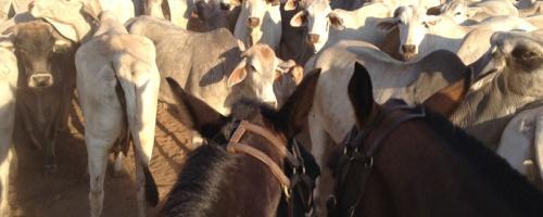 Australische Rinder